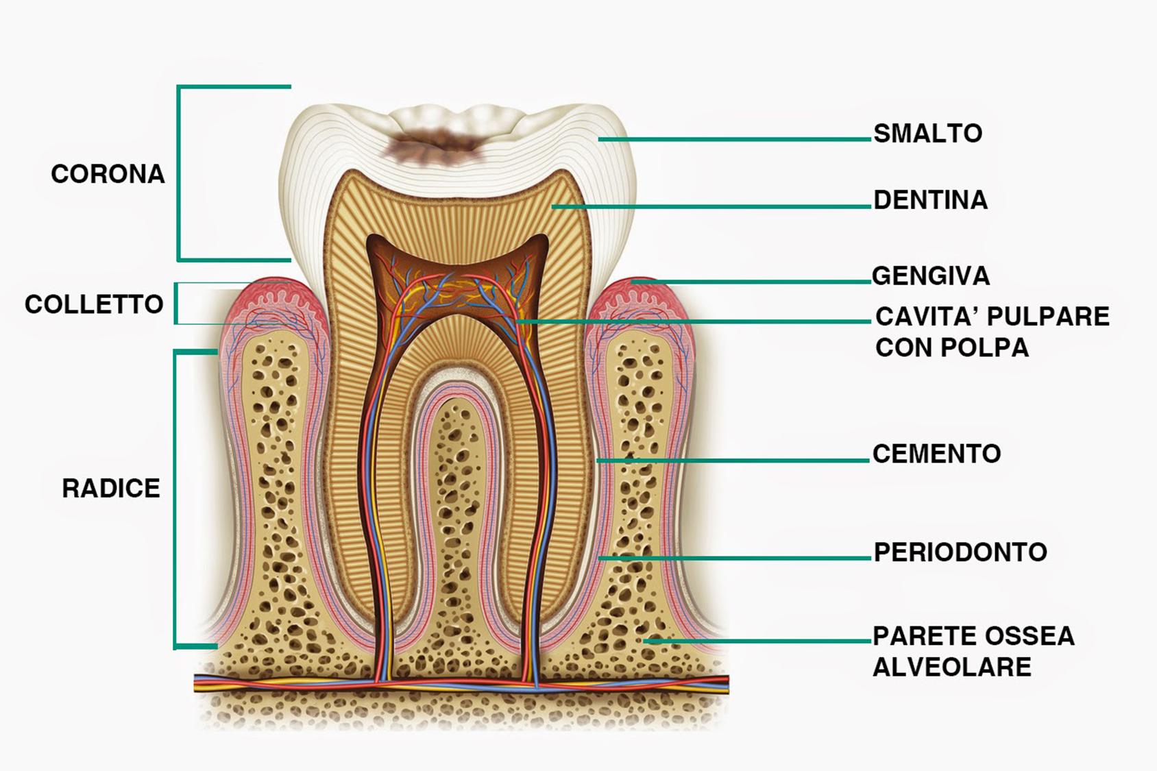 Come sono fatti i denti?